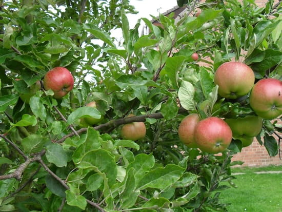 quand cueillir les pommes melrose r solu arbres et arbustes. Black Bedroom Furniture Sets. Home Design Ideas