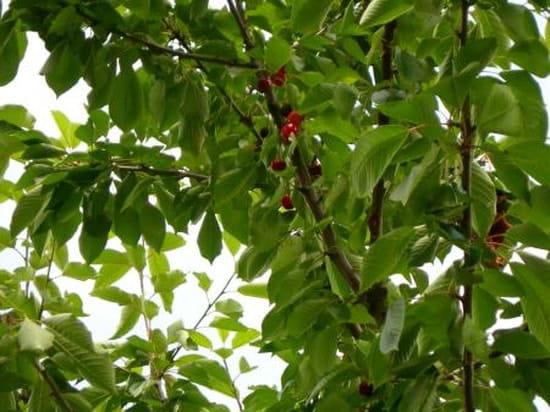 Peut on couper les branches du voisin r solu - Peut on couper des branches du voisin ...