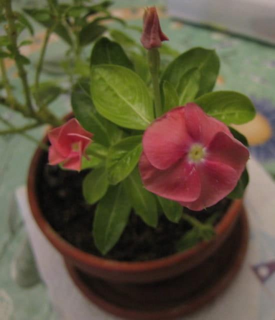 quel est le nom de cette fleur en pot r solu fleurs. Black Bedroom Furniture Sets. Home Design Ideas