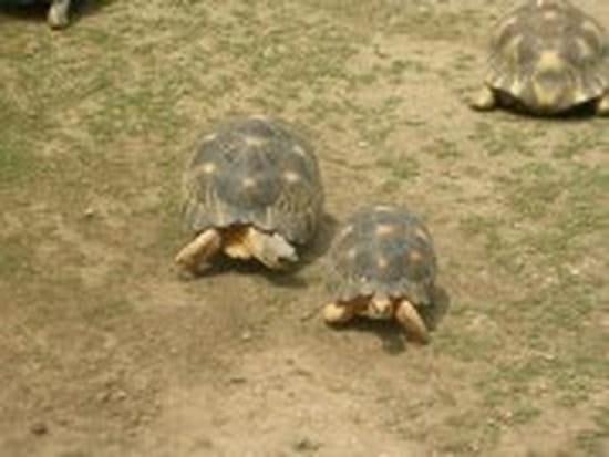 Puis je mettre la cave ma tortue herman pour qu 39 elle for Avoir une tortue a la maison