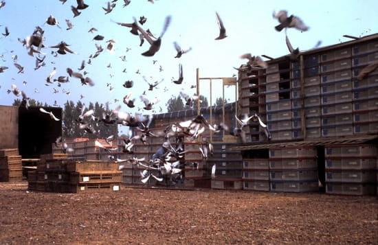 comment faire fuir les pigeons de mon jardin design de maison design de maison. Black Bedroom Furniture Sets. Home Design Ideas