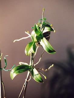 mIs31b4u-keiki-phalaenopsis-equestris-s-.png