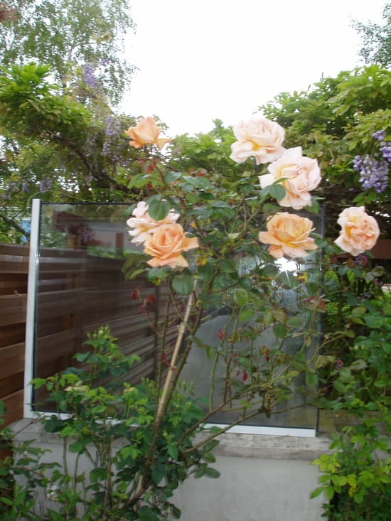 Peut on planter un rosier grimpant l 39 ombre r solu - Planter un rosier grimpant ...