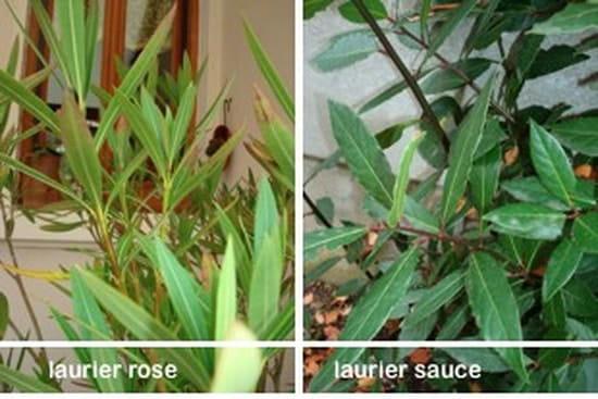 Comment reconnait on un laurier sauce r solu - Laurier comestible comment reconnaitre ...