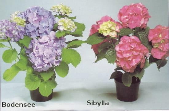 a quelle période peut on planter des hortensias en pleine terre