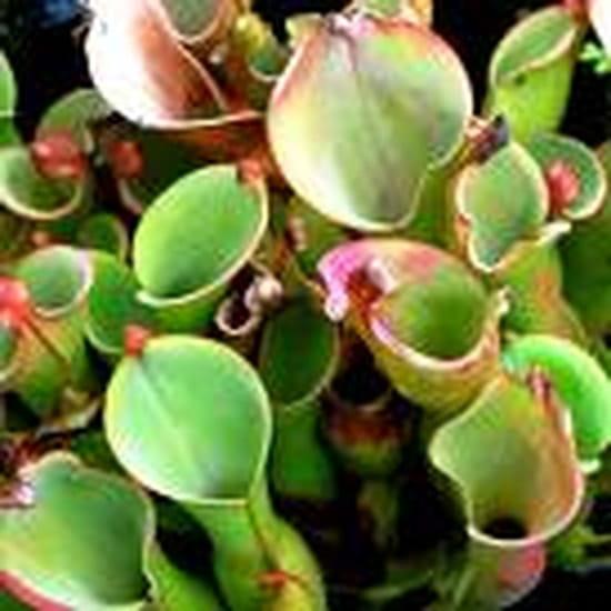 Une plante contre les mouches r solu - Plante anti mouche maison ...