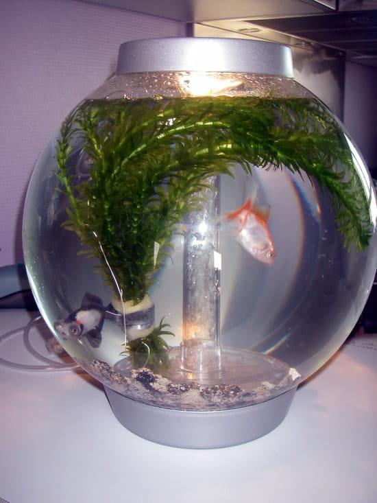 je viens de mettre mon betta dans le m u00eame aquarium que mes poissons japonais  va  r u00e9solu