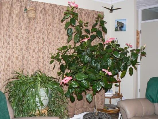 Comment faire fleurir un hibiscus - Comment entretenir un hibiscus ...