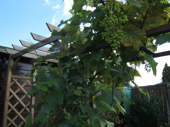 Tailler la vigne r solu - Quand tailler une vigne ...