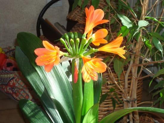 Comment soigner mon clivia apr s sa floraison r solu - Taille des rosiers apres floraison ...
