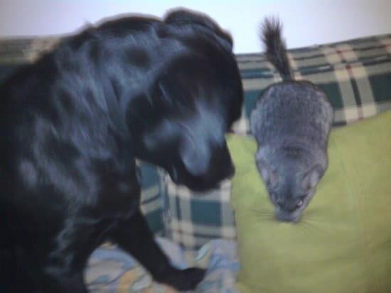 Mon labrador détruit tout ce qu'il trouve, que faire
