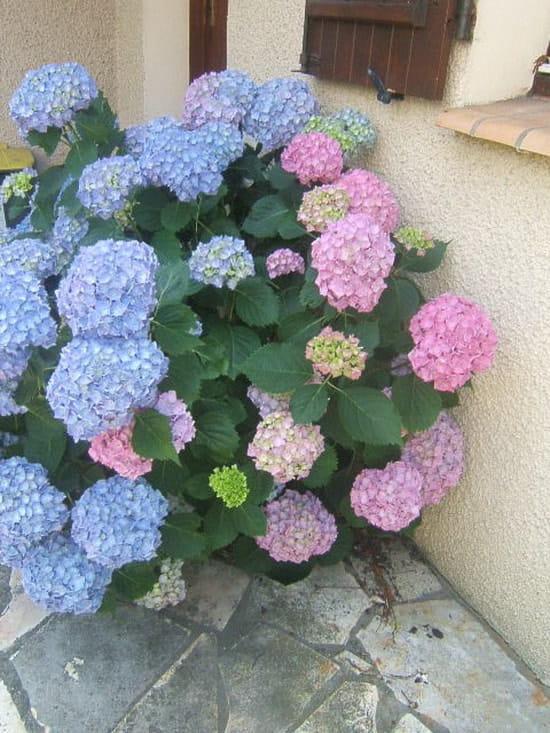 comment conserver la couleur bleue des hortensias ? [résolu] - page 4