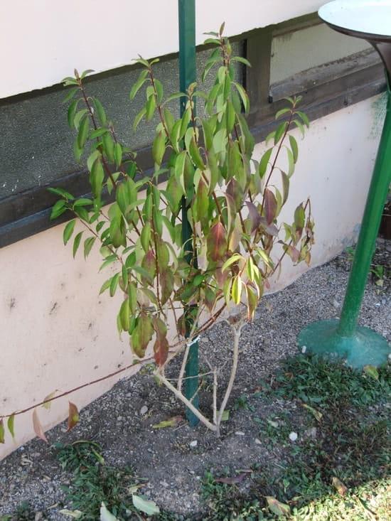 Comment faire repartir mon forsythia r solu fleurs - Quand tailler un forsythia ...