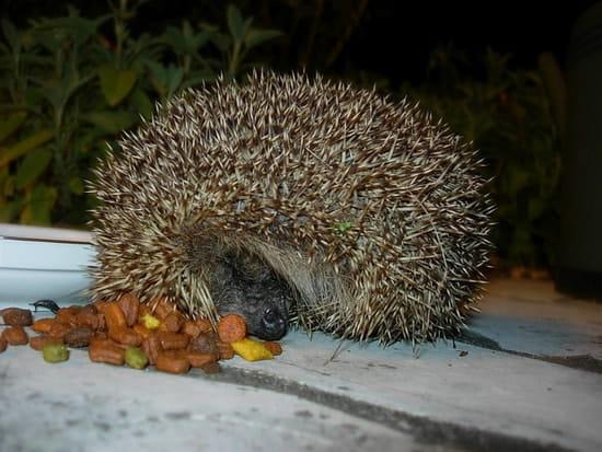 J 39 ai trouv un b b h risson que dois je faire r solu animaux - J ai trouve un herisson dans mon jardin que faire ...