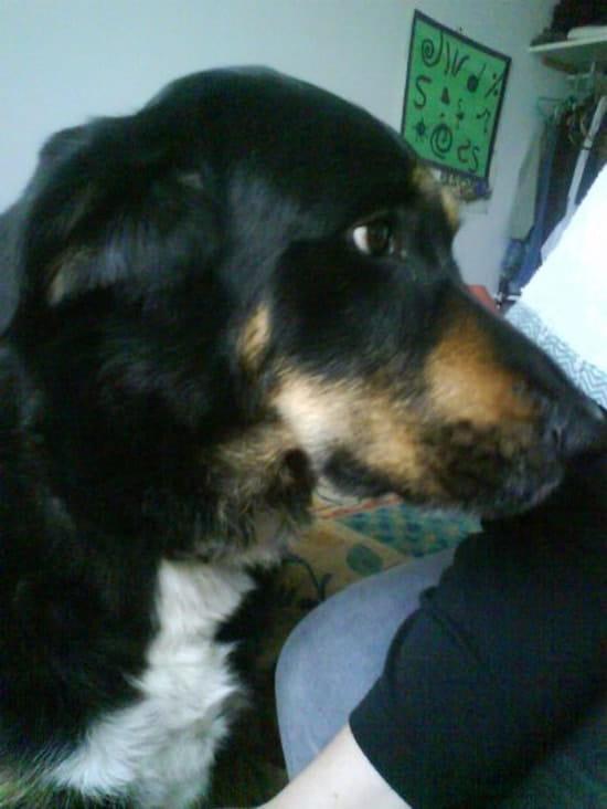 faut il pour les beaucerons un permis de d tention pour chiens. Black Bedroom Furniture Sets. Home Design Ideas