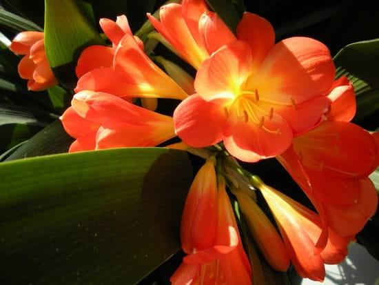 Comment soigner mon clivia apr s sa floraison r solu - Comment couper orchidee apres floraison ...