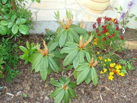 Mon rhododendron ne fait pas de fleur que faire - Rhododendron ne fleurit pas ...