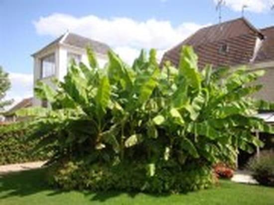 pouvez vous me dire a quelle periode se plante un bananier r solu potager fruits aromatiques. Black Bedroom Furniture Sets. Home Design Ideas