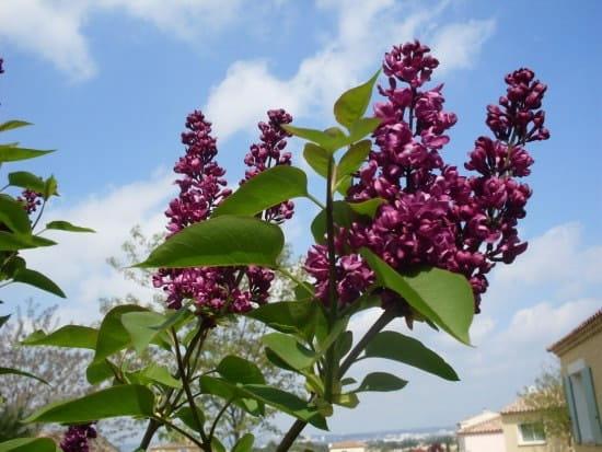 Pourquoi mon lilas n 39 a t il pas fleurit cette ann e fleurs - Quand tailler les lilas ...