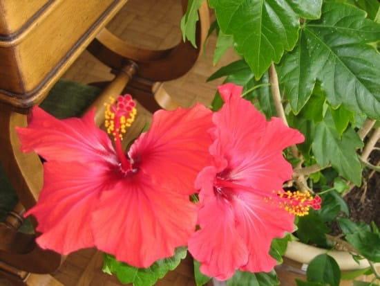 Peut-on faire des boutures d\'hibiscus?