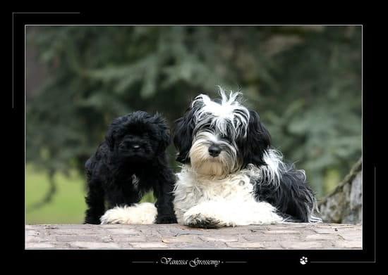 ya til des fans des terriers du tibet r233solu chiens