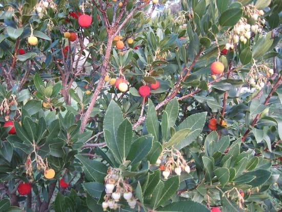 Comment s 39 appelle cet arbuste qui fleurit en d cembre r solu arbres et arbustes page 2 - Laurier comestible comment reconnaitre ...