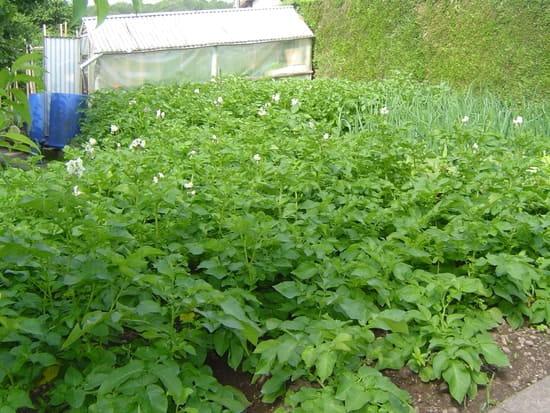 Quelle est la meilleure vari t de pomme de terre semer r solu - Semer des pommes de terre ...