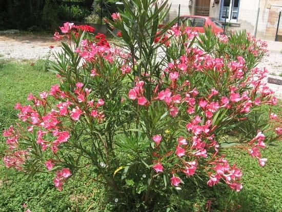 puis je planter un laurier rose en pleine terre ? [résolu] - page 2