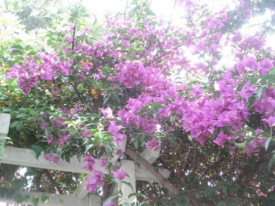 Est ce normal que mon bougainvillier perde ses feuilles et fleurs - Mon olivier perd ses feuilles ...