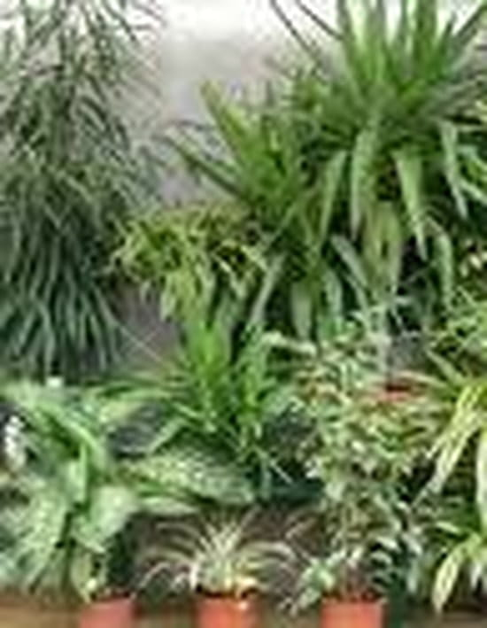 Comment traiter et elliminer les feuilles collantes des for Plante 7 feuilles