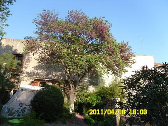 les fleurs de mon arbre de jud e tombent chez le voisin que faire r solu arbres et arbustes. Black Bedroom Furniture Sets. Home Design Ideas