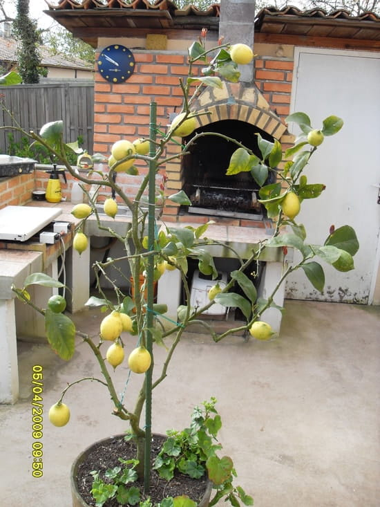 des solutions pour un citronnier qui ne fait pas de citrons r solu. Black Bedroom Furniture Sets. Home Design Ideas