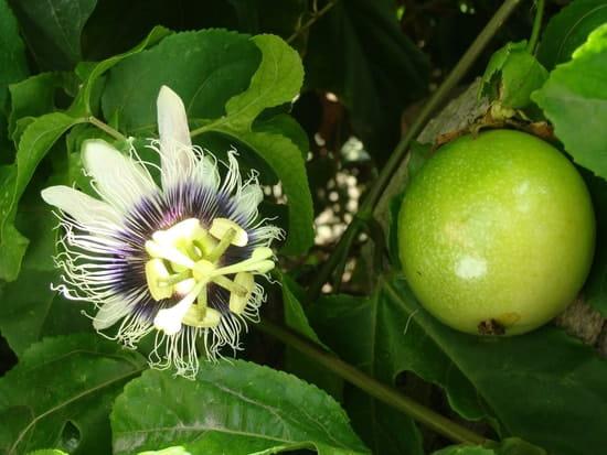 Le fruit de la passiflore est il comestible r solu - Les jardins de passiflore ...