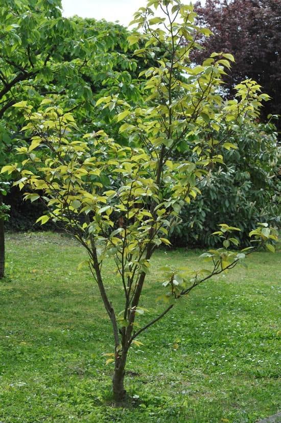 mon cerisier du japon ne fleurit jamais r solu potager fruits. Black Bedroom Furniture Sets. Home Design Ideas