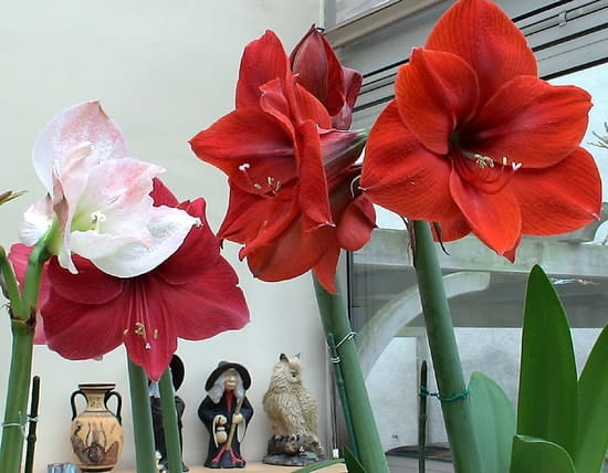 J 39 ai des amaryllis qui red marrent mais sans fleur r solu - Comment faire refleurir un amaryllis ...
