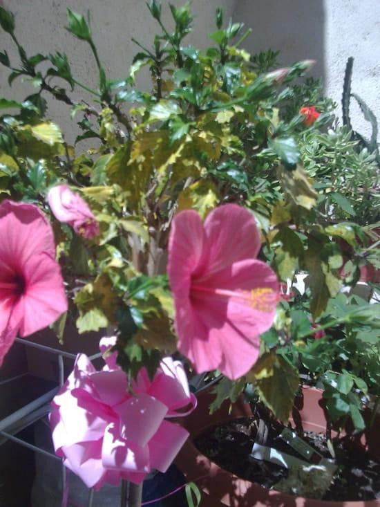 Pourquoi mon hibicus sur tige en pot a les feuilles qui jaunissent r solu plantes d - Feuilles de rosier qui jaunissent ...