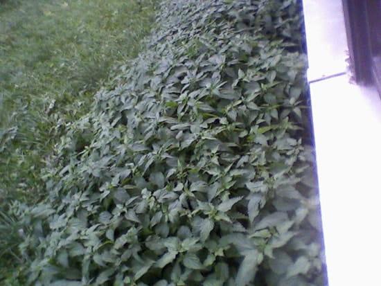 Comment d truire efficacement les orties r solu - Comment utiliser le purin d ortie ...