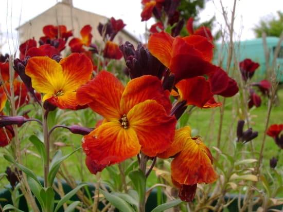 Que faire des girofl es qui sont fan es - Quand faut il couper les fleurs fanees des hortensias ...
