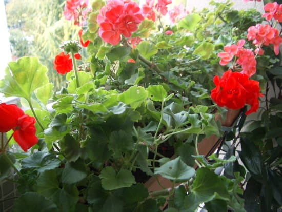 A quel moment mois faut il tailler les geraniums fleurs - A quel moment tailler les rosiers ...