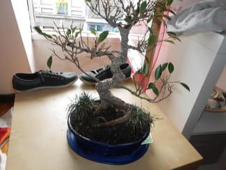 mon bonsa perd beaucoup de feuilles et on dirait qu 39 il s che arbres et arbustes. Black Bedroom Furniture Sets. Home Design Ideas