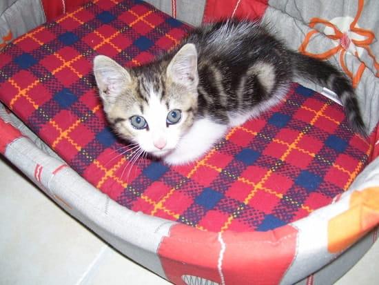 comment se d barrasser des puces sur un petit chat r solu. Black Bedroom Furniture Sets. Home Design Ideas