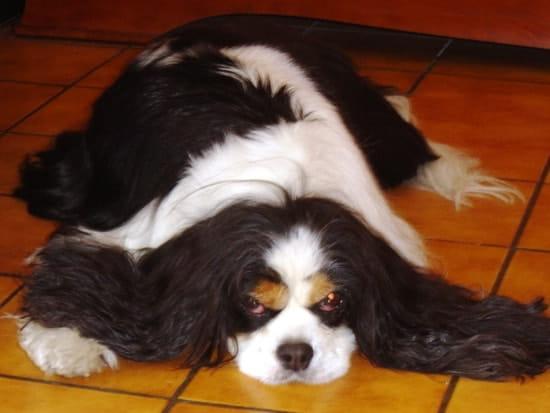 votre ckc a t il plus de 10 ans r solu chiens. Black Bedroom Furniture Sets. Home Design Ideas