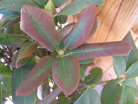 mon rhododendron a les feuilles qui brunissent comme si elles taient brul es r solu. Black Bedroom Furniture Sets. Home Design Ideas