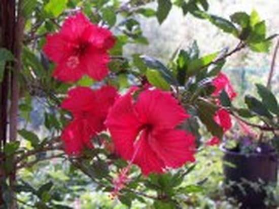 hibiscus rentrer dans mon jardin d 39 hiver fleurs. Black Bedroom Furniture Sets. Home Design Ideas