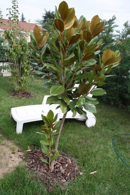 faut il couper la pousse au pied de mon magnolia r solu fleurs. Black Bedroom Furniture Sets. Home Design Ideas
