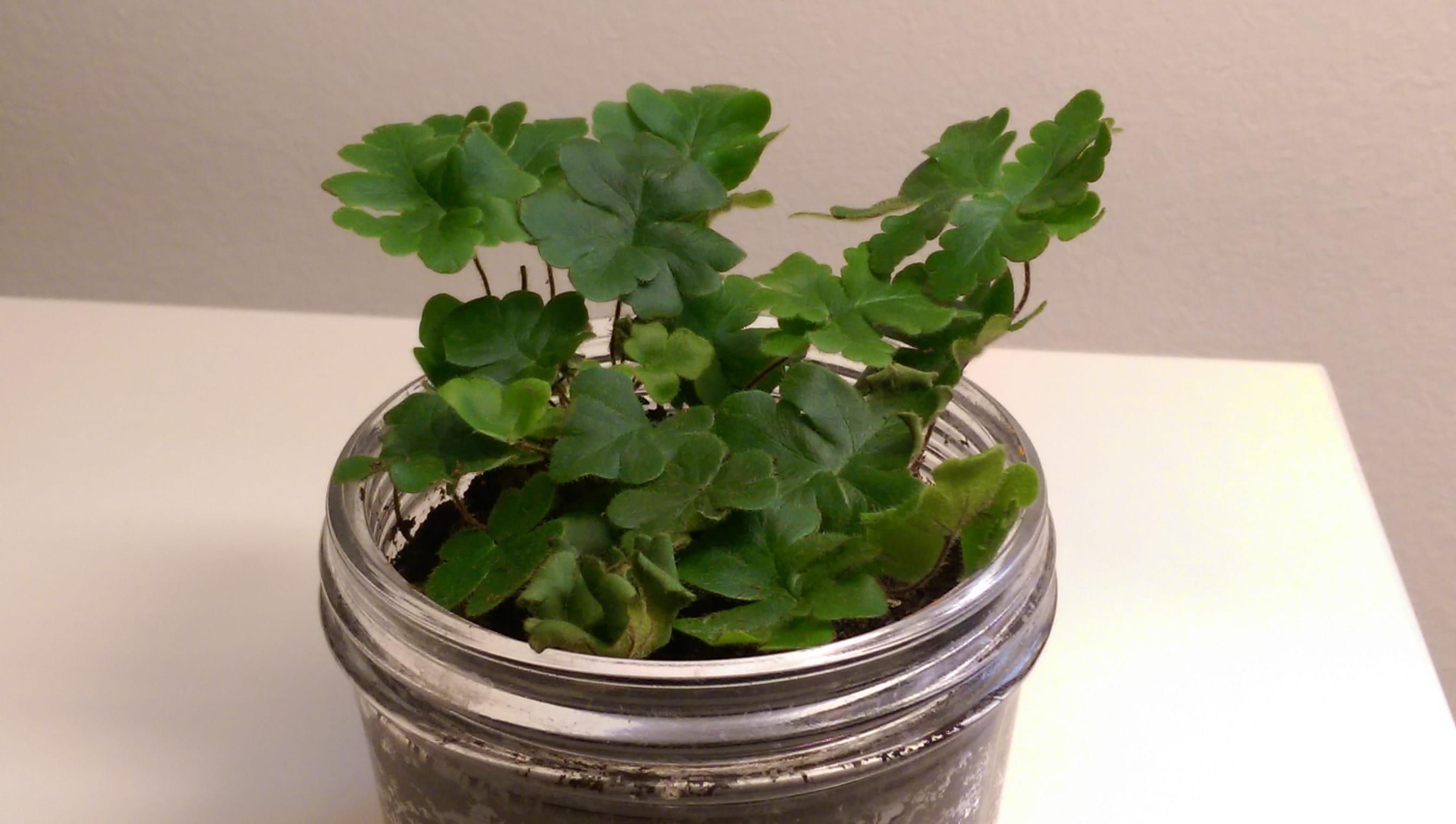quelle est cette plante plantes d 39 int rieur. Black Bedroom Furniture Sets. Home Design Ideas