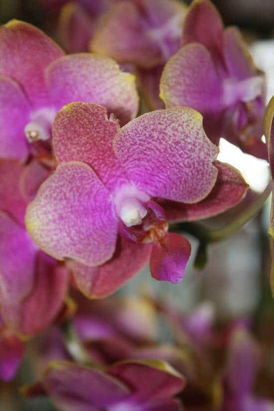 comment soigner une orchid e phalaenopsis r solu fleurs. Black Bedroom Furniture Sets. Home Design Ideas