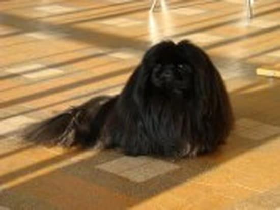 comment enlever les bouloches a mon chien sans la tondre chiens. Black Bedroom Furniture Sets. Home Design Ideas