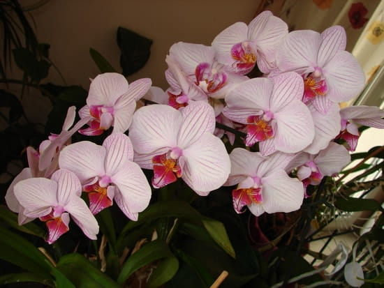orchidee ne fait plus de fleurs