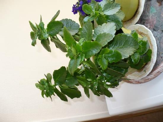 Mon kalenko ne fleurit pas pourquoi r solu for Amaryllis ne fleurit pas